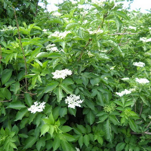 растение бузина ее описание и фото