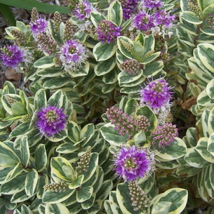 Цветы хебе андерсона