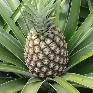 Ананас- уход, размножение, цветение, вредители, приметы, свойства