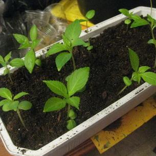 Сколько семечек бальзамина посадить на рассаду в один горшочек 30