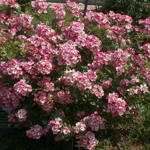 Роза с мелкими цветами собранными в кисти