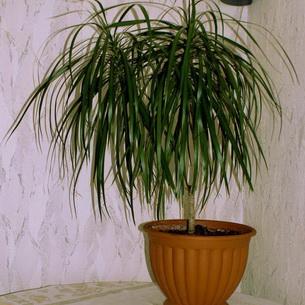 растение в виде пальмы