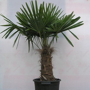 Пальмовые уход в домашних условиях 40