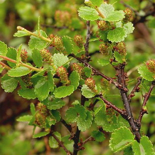Растения тундры карликовая береза