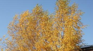 Береза бронзового цвета