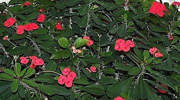 Молочай Миля - Комнатные растения и цветы 23