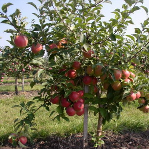 Веретеновидная формировка для безопорных интенсивных садов яблони.