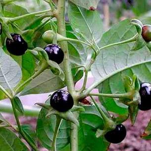 Белена черная – лечебные свойства, полное описание - Народная медицина