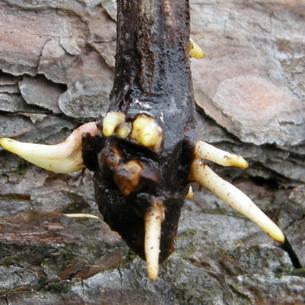 Размножение яблонь черенками