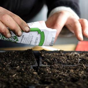 Как правильно посадить декоративную капусту