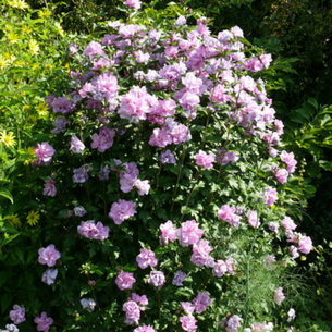 Гибискус садовый фото в саду как зимует