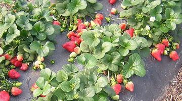 Высадка усов клубники летом и осенью уход за ней