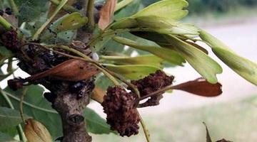 Ясень обыкновенный «Альтена»