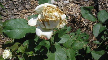 вредители роз фото описание