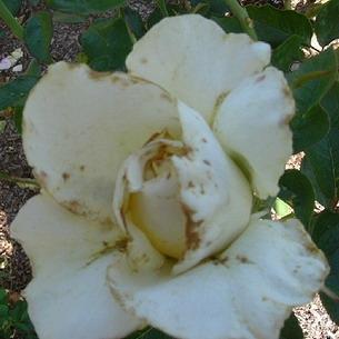 На бутонах роз пятна