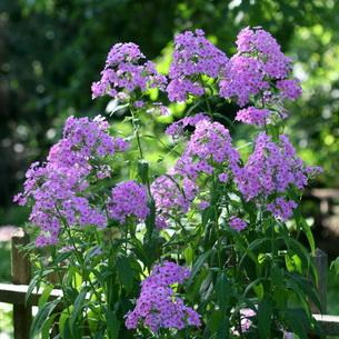 Какие многолетние цветы сажать на даче 974