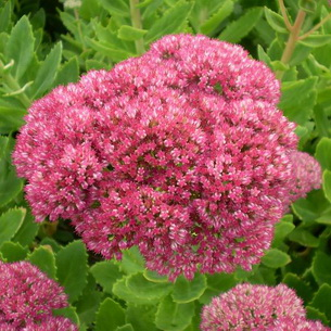 Фото седум цветы