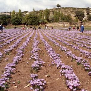 Выращивание шафрана - что любит растение, посадка и уход, как и когда собирать урожай