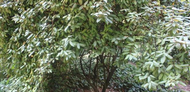 Дерево лох