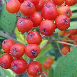 Фото рябины красной осенью