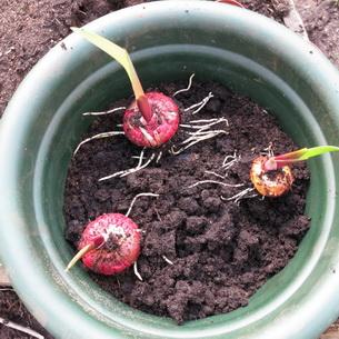 Цветы гладиолусы: фото, описание, строение, видео выращивания в открытом грунте и размножение гладиолусов