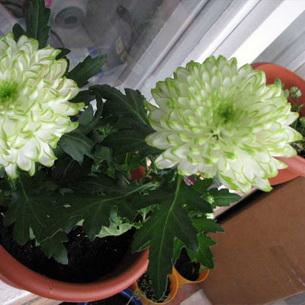 Хризантема комнатная: фото, уход, выращивание и обрезка в домашних условиях, как обрезать хризантему