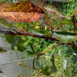Почему желтеют листья на вишне в июле
