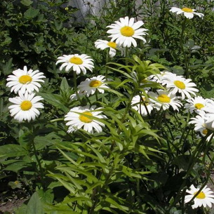 Что обозначает цветок ромашка