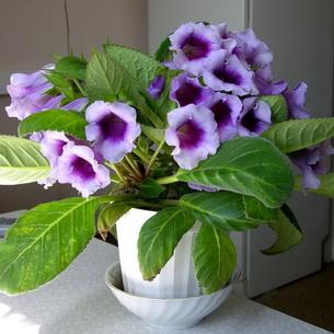 Глоксиния комнатная: фото цветов, описание, уход 95