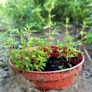 Тимьян фото растения
