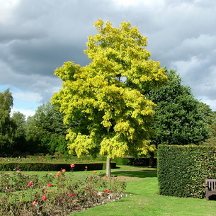 Акация: описание и агротехника выращивания в домашних условиях
