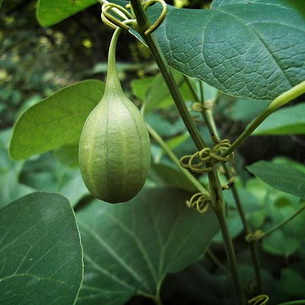 Аристолохия, или кирказон: описание, выращивание и размножение