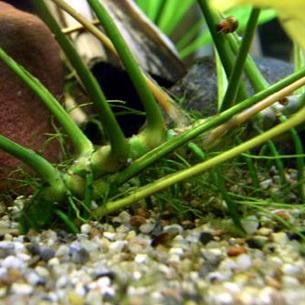 Как правильно сажать анубиас в аквариуме 93