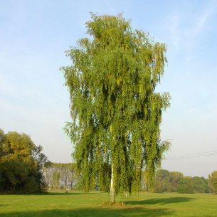 береза обыкновенная описание дерева