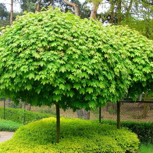 Клен остролистный- описание с фото дерева и листьев, плоды растения и способы его размножения