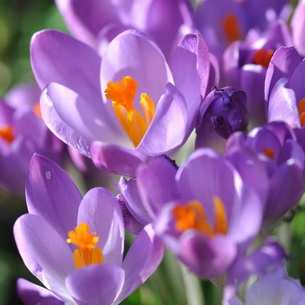 Безвременник (колхикум)- фото цветка, виды, посадка и уход
