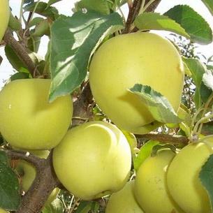 Выращивание яблок в средней полосе 27