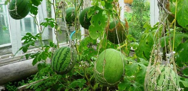 Выращивание дыни в закрытом грунте 49