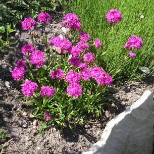 Вискария- посадка и уход в открытом грунте, фото оригинальных цветков