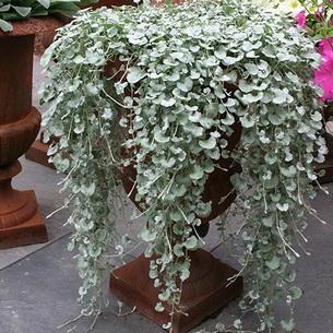 Ампельная дихондра- посадка и уход, фото цветочного водопада