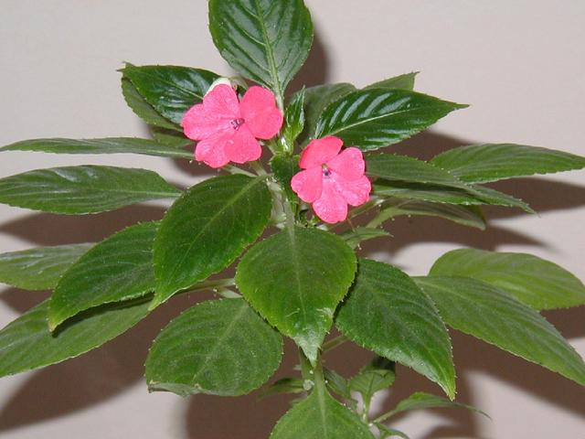 Фото и описание цветка бальзамин