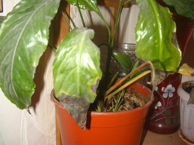 Почему у спатифиллума сохнут и желтеют кончики листьев у