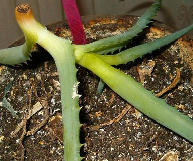 Как посадить алоэ без корня в домашних условиях